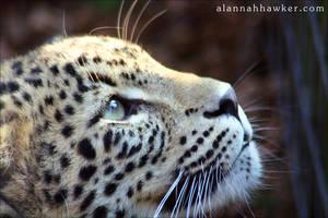 Leopard by Alannah-Hawker