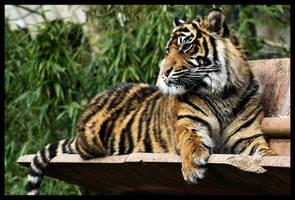 Tiger 05 by Alannah-Hawker