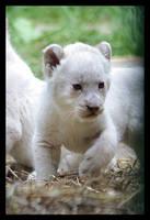 White lion cub by Alannah-Hawker