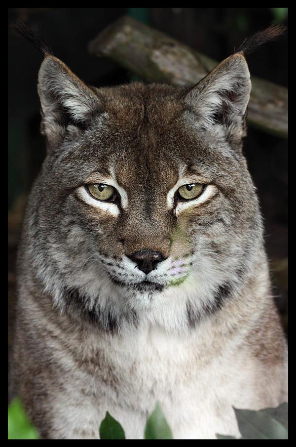 Siberian lynx portrait by Alannah-Hawker
