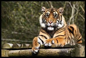 Tiger 13 by Alannah-Hawker