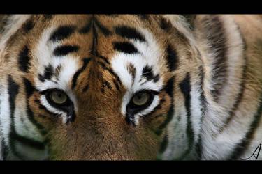 Tigress by Alannah-Hawker