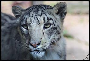 Snow Leopard by Alannah-Hawker