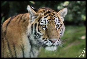 Tiger Cub - Kuzma by Alannah-Hawker