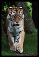 Tiger 14 by Alannah-Hawker