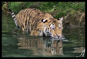 Tiger 16 by Alannah-Hawker