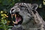 Snow Leopard Snarl by Alannah-Hawker