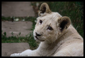 White Lion cub 03 by Alannah-Hawker