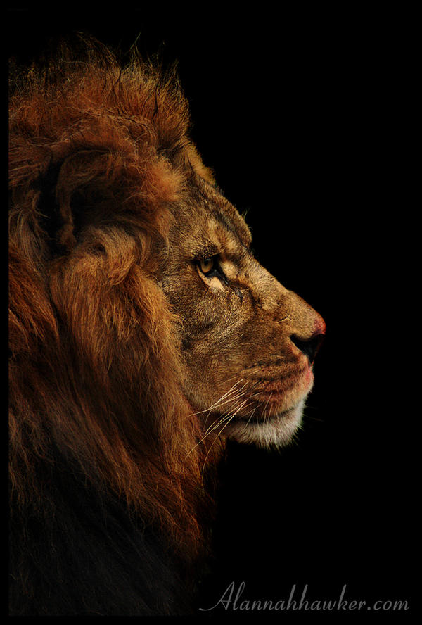 Lion. by Alannah-Hawker