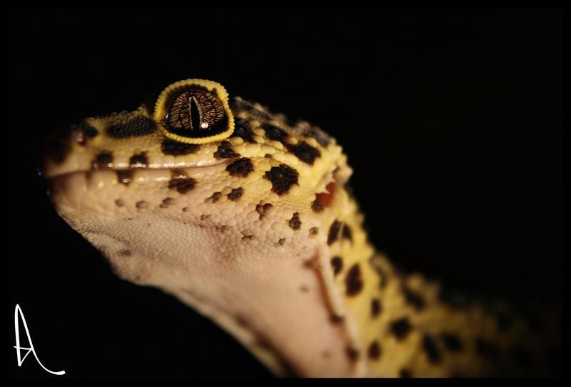 Leopard Gecko. by Alannah-Hawker