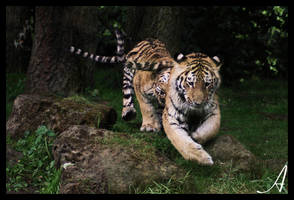 Tiger cubs by Alannah-Hawker