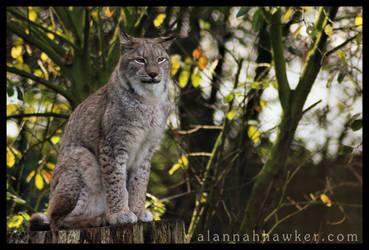 Lynx by Alannah-Hawker