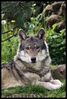 European Wolf 02 by Alannah-Hawker