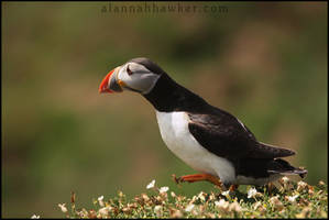 Puffin 01 by Alannah-Hawker