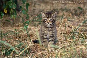 Wildcat Kitten by Alannah-Hawker