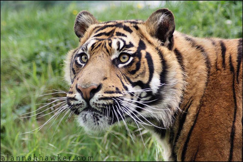 Tiger 18 by Alannah-Hawker
