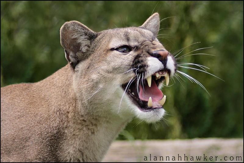 Puma 02 by Alannah-Hawker