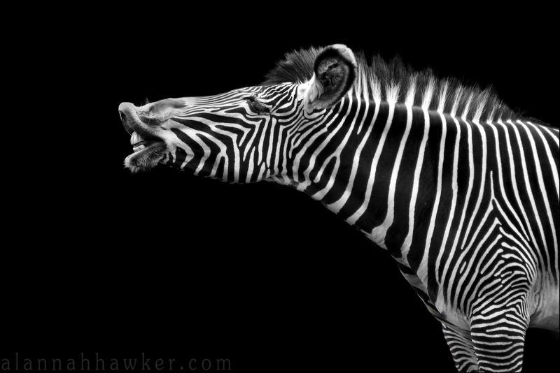 Zebra by Alannah-Hawker