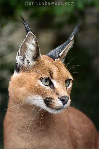 Caracal by Alannah-Hawker