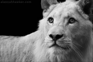 White Lion 02 by Alannah-Hawker