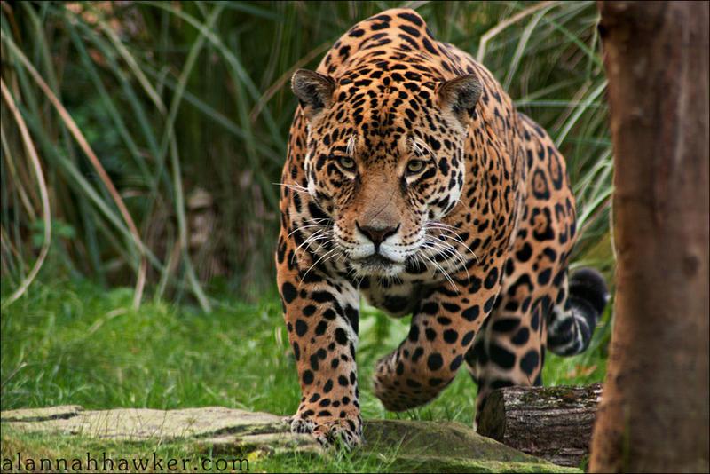 jaguar by alannah hawker on deviantart