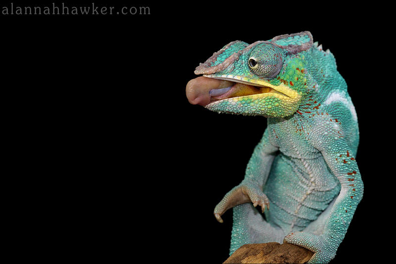 Panther Chameleon 02 by Alannah-Hawker