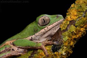 Tiger Legged Monkey Tree Frog2 by Alannah-Hawker