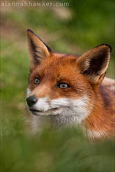 Fox 05 by Alannah-Hawker