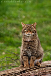 Wild Cat 02 by Alannah-Hawker