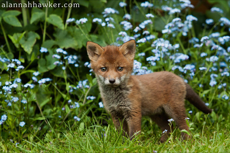 Fox Cub 01 by Alannah-Hawker
