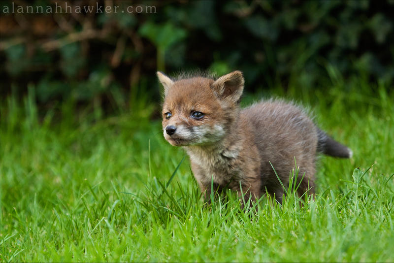 funny spam  - Page 6 Fox_cub_02_by_alannahily-d3ej8js