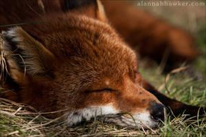Fox 07 by Alannah-Hawker