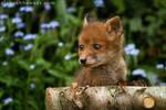 Fox Cub 04