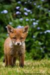 Fox Cub 05
