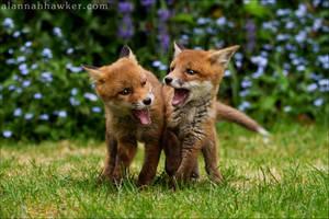 Fox Cub 11 by Alannah-Hawker
