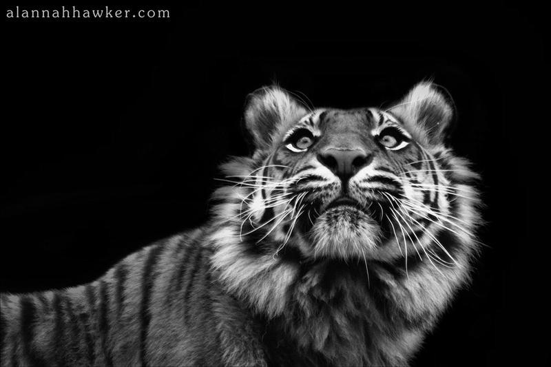 Tiger 22 by Alannah-Hawker