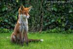 Fox Cub 12