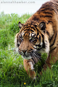 Tiger 23
