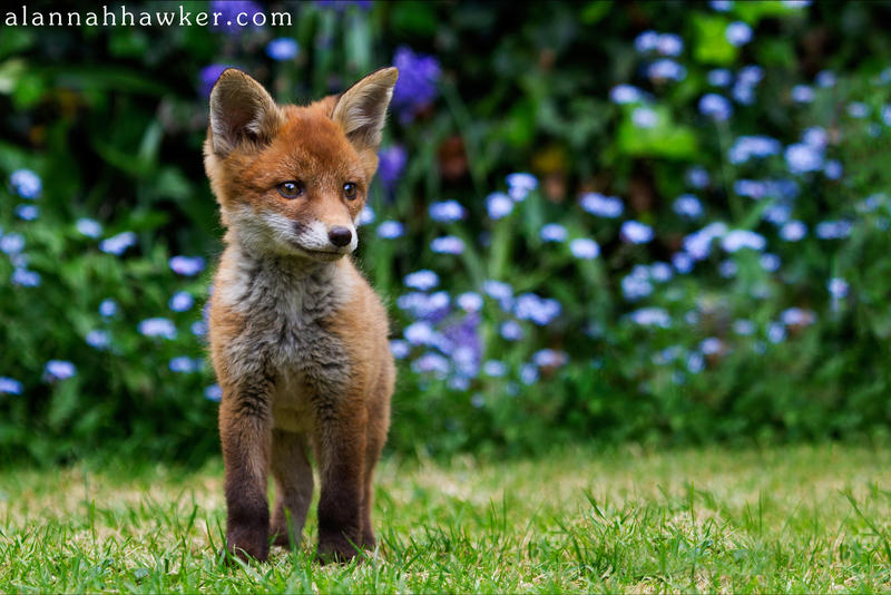 Fox Cub 13 by Alannah-Hawker