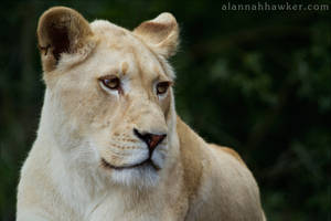 White Lioness by Alannah-Hawker
