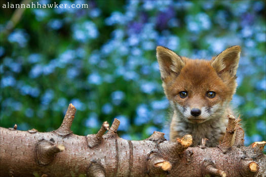 Fox Cub 14