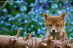 Fox Cub 14 by Alannah-Hawker