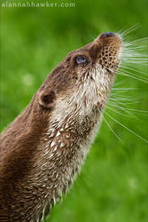 Otter 03 by Alannah-Hawker