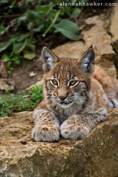 Lynx Cub 02 by Alannah-Hawker