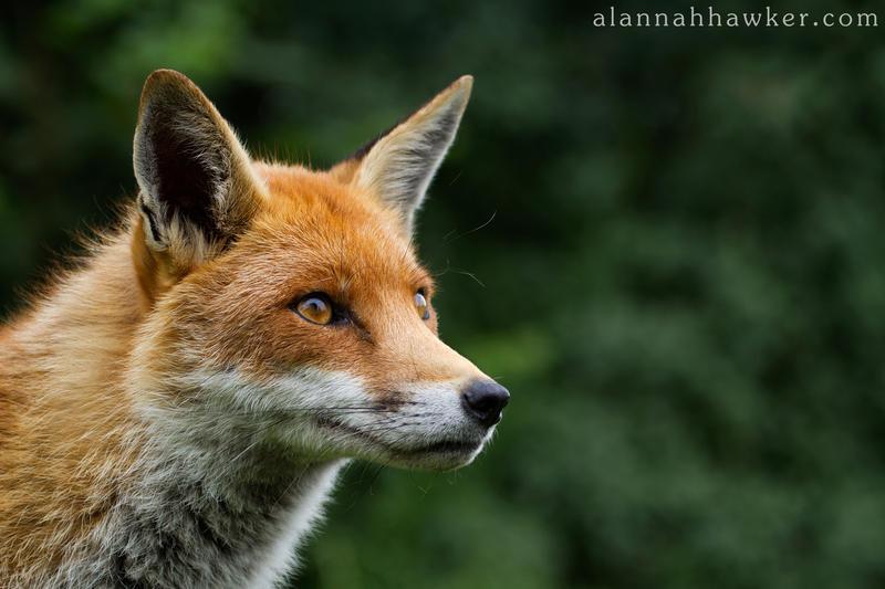 Fox 08 by Alannah-Hawker
