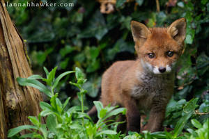 Fox Cub 15 by Alannah-Hawker