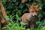 Fox Cub 15
