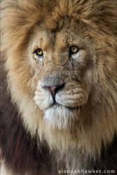 Lion 03 by Alannah-Hawker