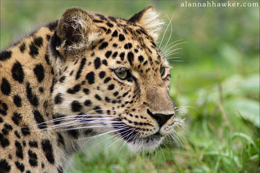 Amur by Alannah-Hawker