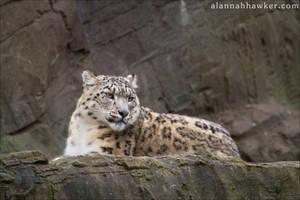 Snow Leopard 03 by Alannah-Hawker